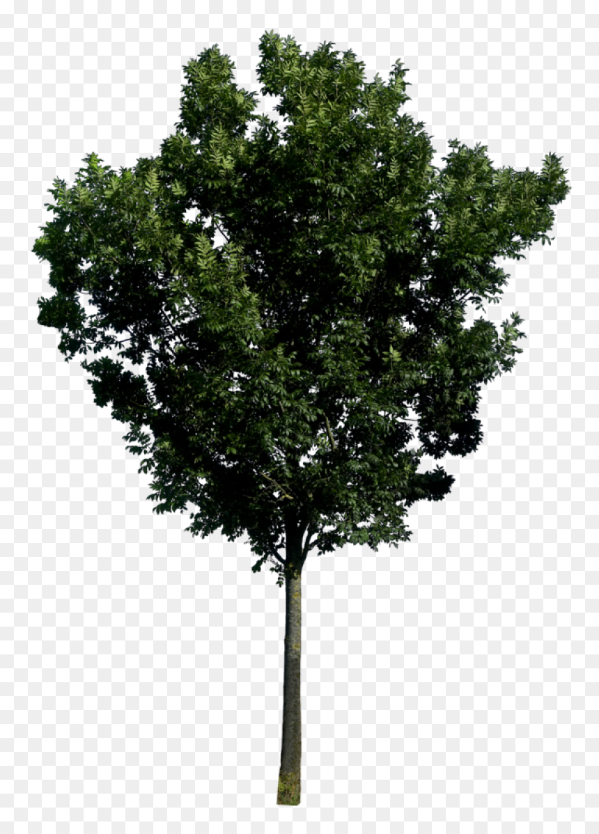 Télécharger photo tree elevation png